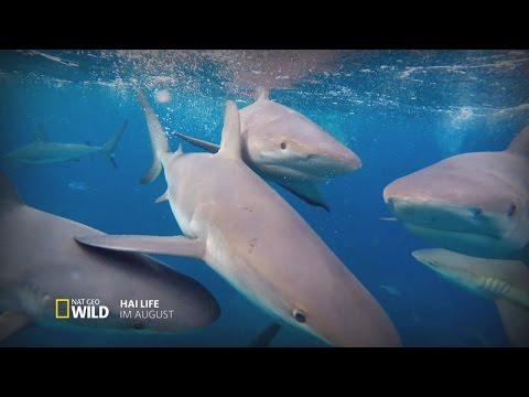 """""""Hai Life"""" im August - NatGeo Wild widmet dem gefährlichsten Raubtier der Ozeane einen ganzen Monat"""