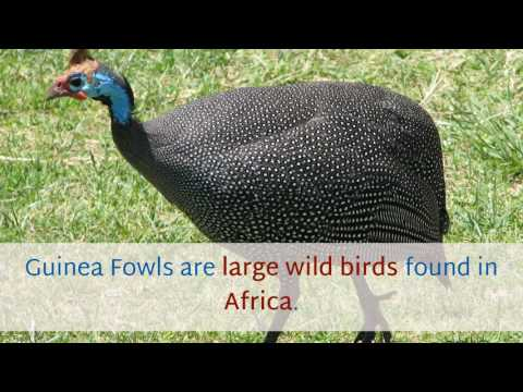 12 Unknown Things You Should Know About Guinea Fowl
