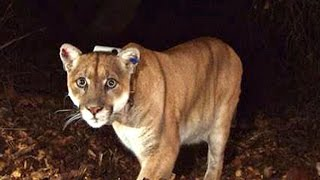 Mountain lion found living beneath Los Angeles home