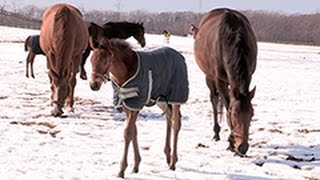 子馬 母乳ですくすく 軽種馬出産シーズン 北海道・日高(2015/03/08) 北海道新聞
