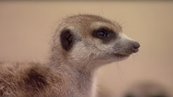 How to Speak Meerkat | BBC Earth