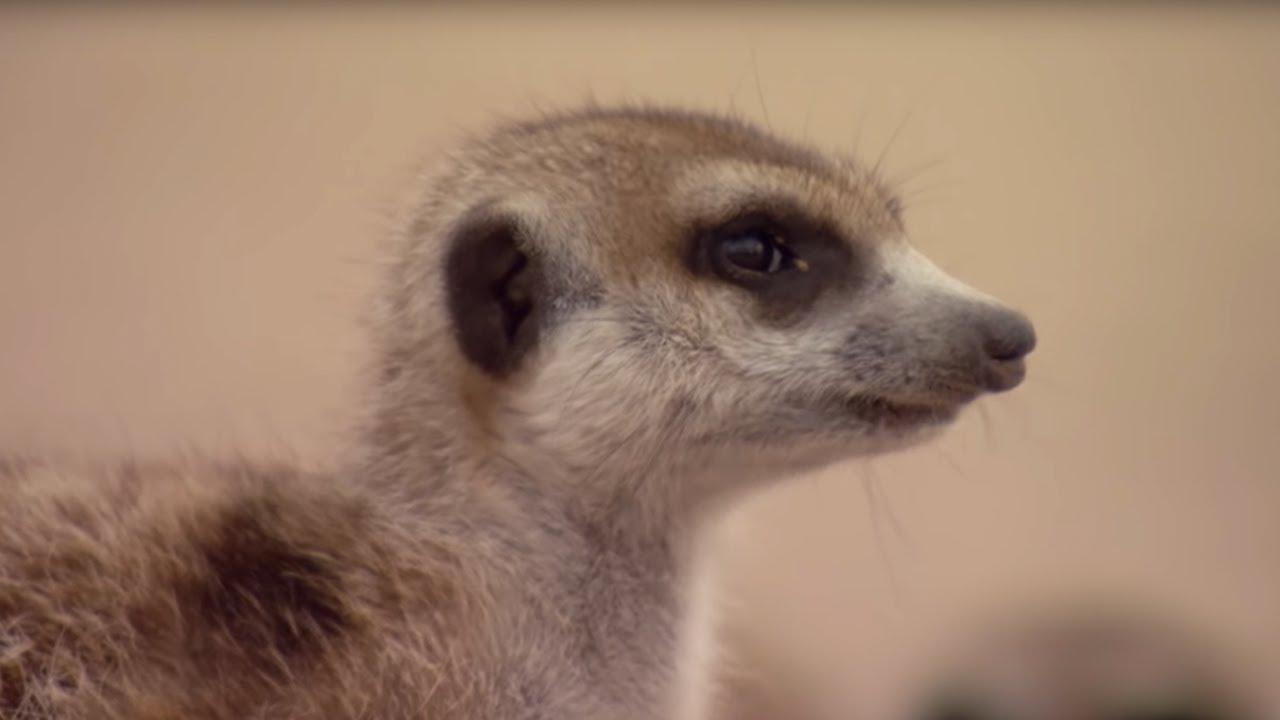 Image result for meerkat