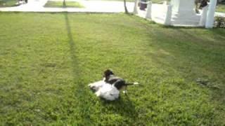 Beagle Vs Poodle