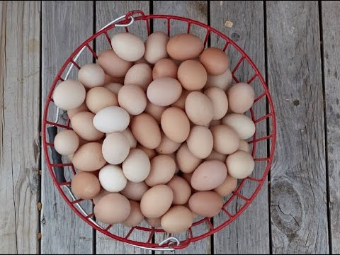 how to help hens lay quality eggs