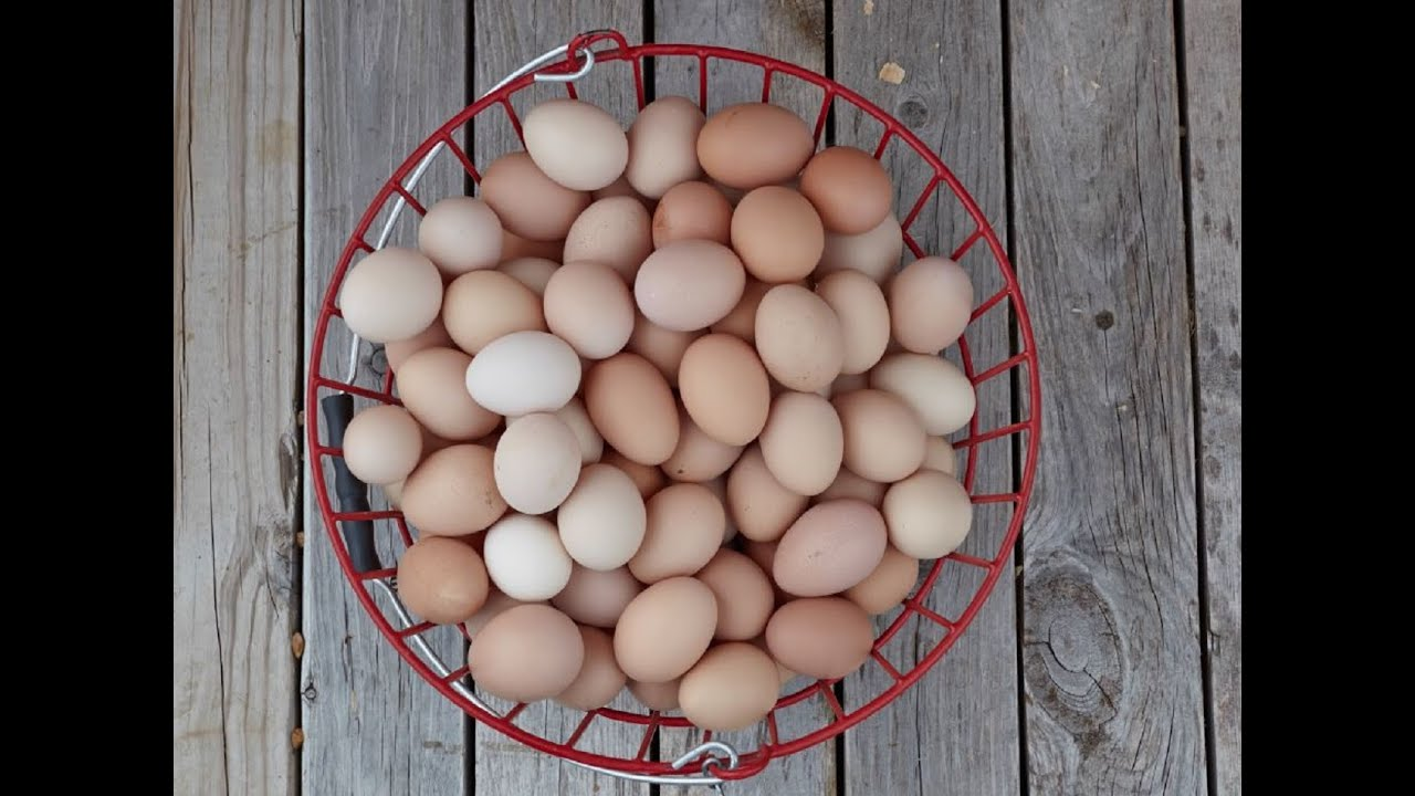 Tips for Quality Eggs   Purina Animal Nutrition