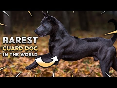 THAI RIDGEBACK 101! The RAREST Guard Dog In The World!