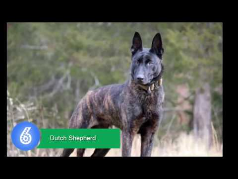 67 Top 10 Best Police Dog Breeds In The World   Animals list