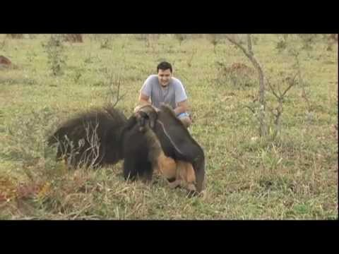 Human playing with an anteater - Pantanal - YouTube