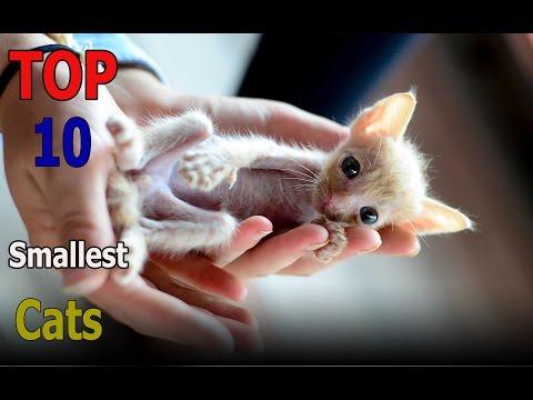 Top 10 smallest cat breeds | Top 10 animals