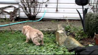 Shar Pei Puppies For Sale.mov
