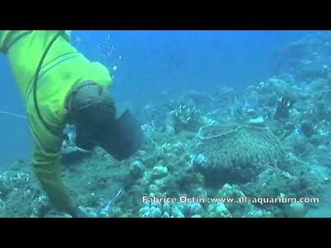 ORNEMENTAL MARINE FISHES HARVEST ( NET CAUGHT )/PECHE ECO FRIENDLY ALL MARINE