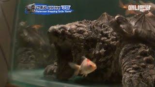 입 안에 미끼를 갖고 태어나 평생 장비없이 낚시하는 악어거북 (근데 낚는게..ㅋㅋ)ㅣThis Turtle Fishes With Fishing Line In His Mouth
