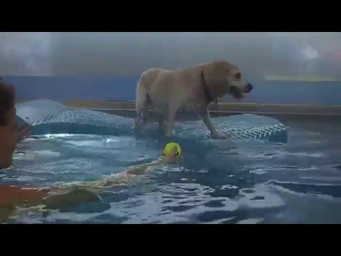 Labrador Retriever Beagle mixed breed dog Ajax has awesome balance on water in swimming pool