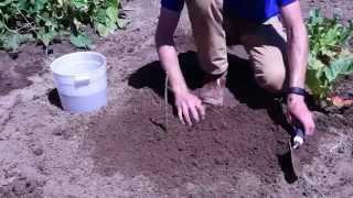 How to Plant Raspberry Plants