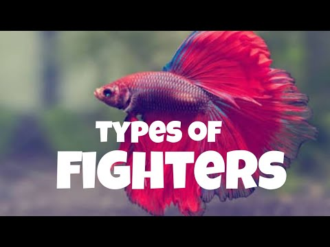 Beautiful Fighter.Different Types Of Fighters Fish. Imported Bettas Must Watch
