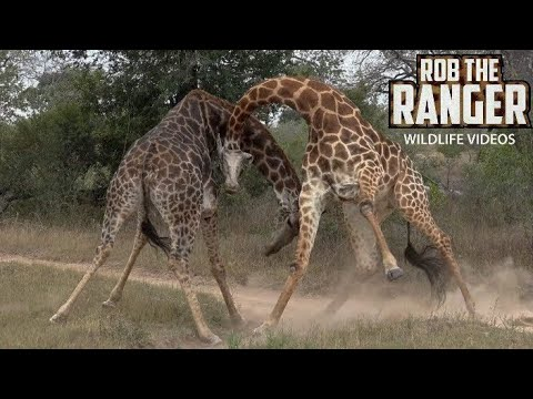 Thumbnail: Amazing Sighting Of Giraffe Bulls Fighting In South Africa
