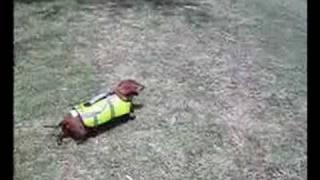 My Mini Dachshund Swimming In His Life Vest