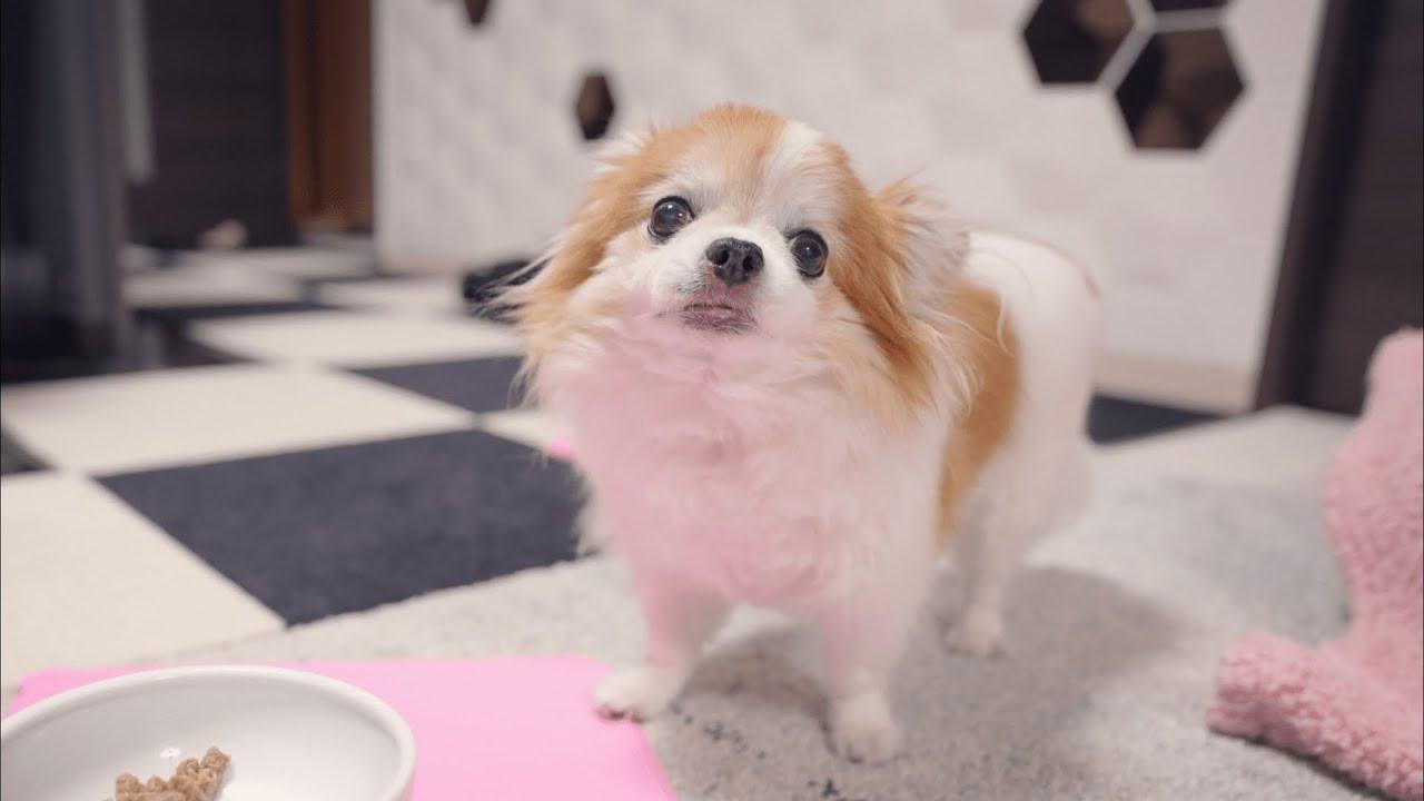 どうしてもコントみたいな食べ方になる老犬チワワのチョッピw