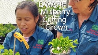 Dwarf Mulberry Tree is Cutting Grown like this