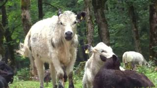 ЛЕСНЫЕ КОРОВЫ *** FOREST COWS