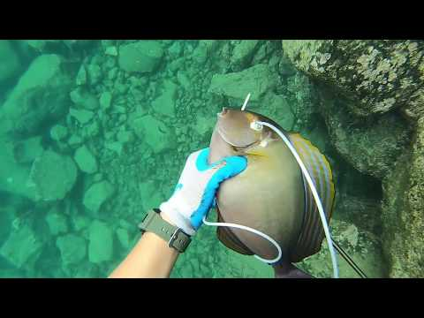 Spearfishing Surgeonfish In Hawaii: Diving For Dinner Ep#4