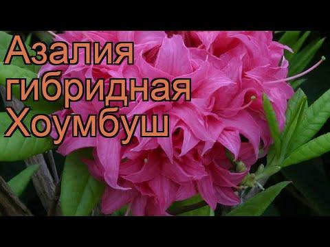 Азалия гибридная Хоумбуш (azalea knap hill homebush) 🌿 обзор: как сажать, саженцы азалии Хоумбуш