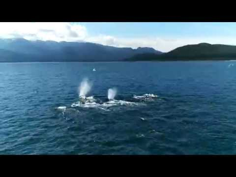 Humpback Whales - Alaska 2015  - Carnival Legend