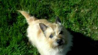 Cairn Rescue Usa (crusa) Riley  - Cairn Terrier