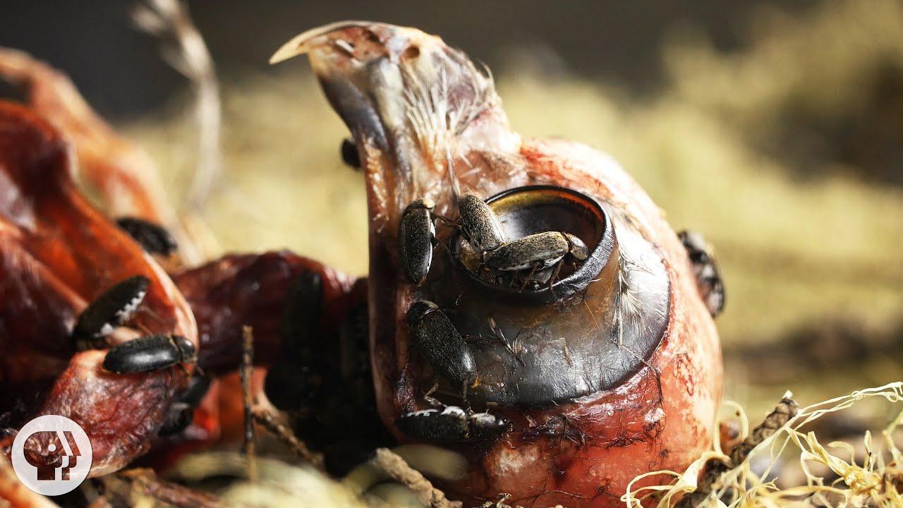 Watch Flesh-Eating Beetles Strip Bodies to the Bone | Deep Look