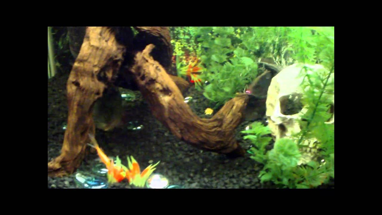 Freshwater aquarium fish piranha - Aquarium Piranha Oscar Feeding