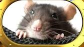 Про усатых и хвостатых - декоративные крысы - YouTube
