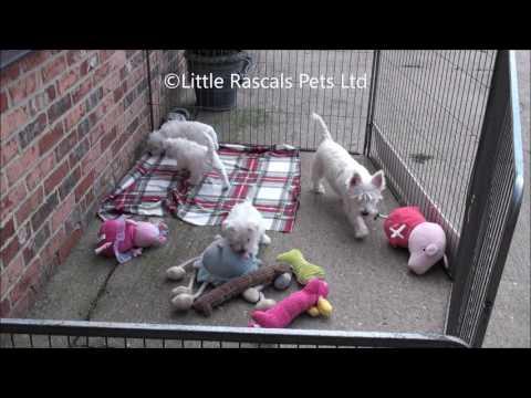 Little Rascals Uk breeders New litter of West Highland Terrier Puppies