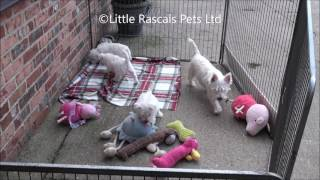 Little Rascals Uk Breeders New Litter Of West Highland Terrier Puppies