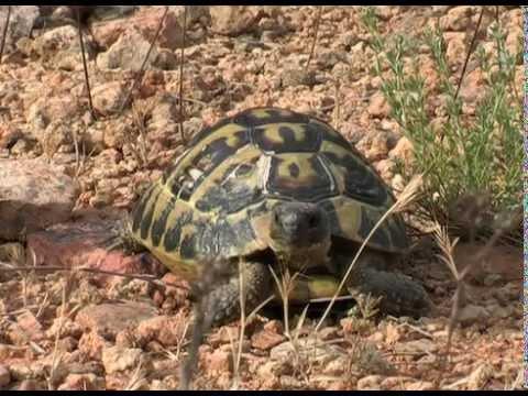 Schiusa uovo nascita tartaruga hermanni doovi for Incubazione uova tartaruga