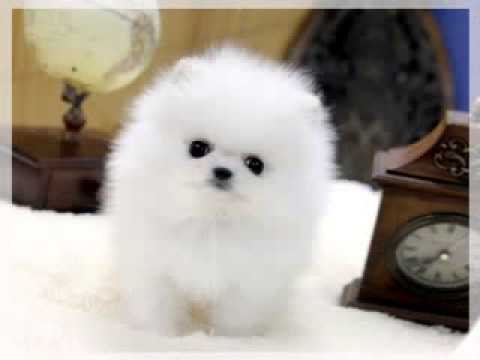Teacup Pomeranian For Sale Youtube