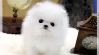 Teacup Pomeranian For Sale