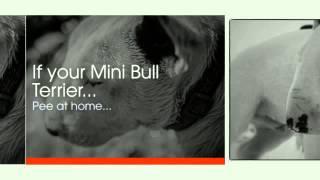 Miniature Bull Terrier Temperament