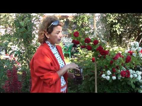 Размножение плетистой розы. Сайт sadovymir.ru