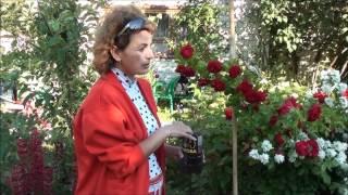 Размножение плетистой розы. Сайт sadovymir.ru(Размножить плетистую розу можно и другим способом - посадив черенок в пластиковую бутылку. Но вопросы остаю..., 2012-07-02T10:20:09.000Z)