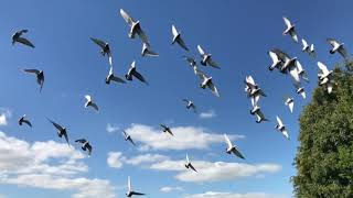 Birds Flying in The Sky     Non Copyright Video Clip