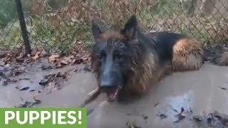 Dirty German Shepherds play in muddy water
