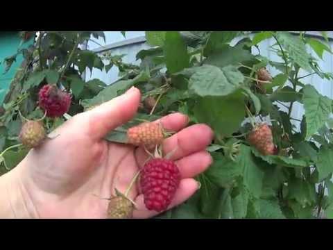 РЕМОНТАНТНАЯ МАЛИНА!ОСОБЕННОСТИ УХОДА ,ОБРЕЗКА И УРОЖАЙ В ОКТЯБРЕ! | ремонтантная | урожайный | выращиван | редактор | татьяна | обрезка | малиной | урожай | огород | малины