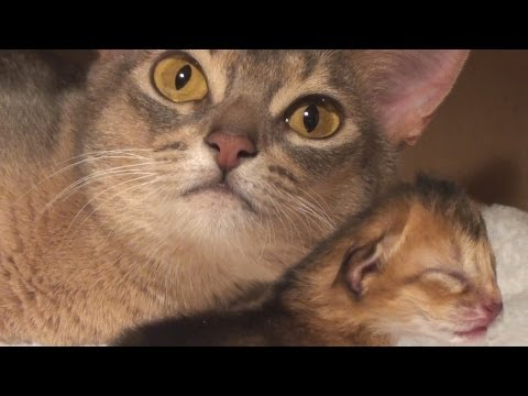 Newborn Aby Kitten Bonding with Mom Cat