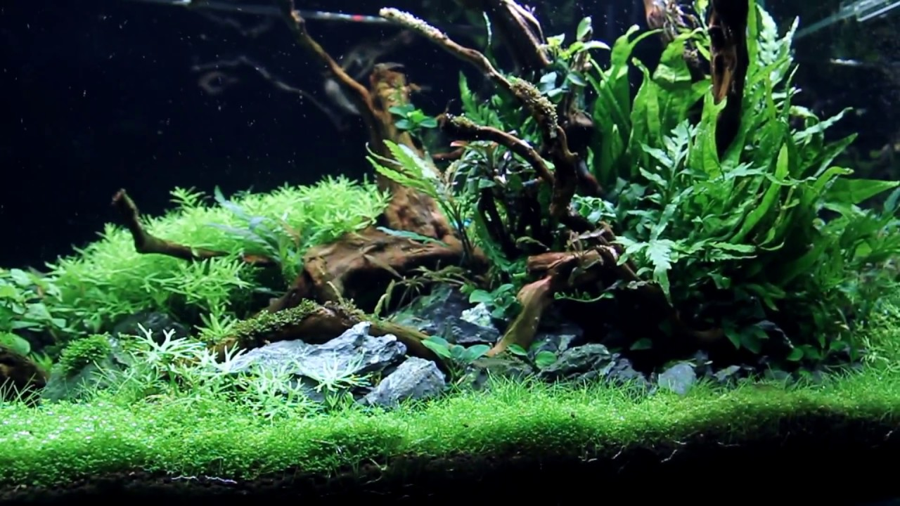 "AQUASCAPE AMAZING 70 Days Update! -ADA 90P - ""dream come ..."