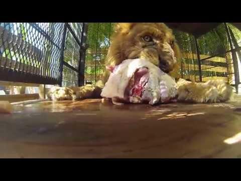 GoPro  Lion Eating