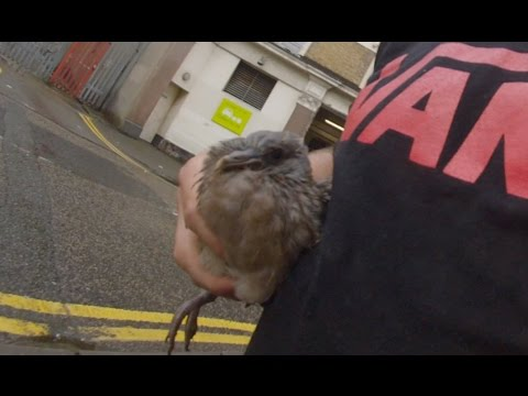 Wood Pigeon Rescue - Hackney London 2016