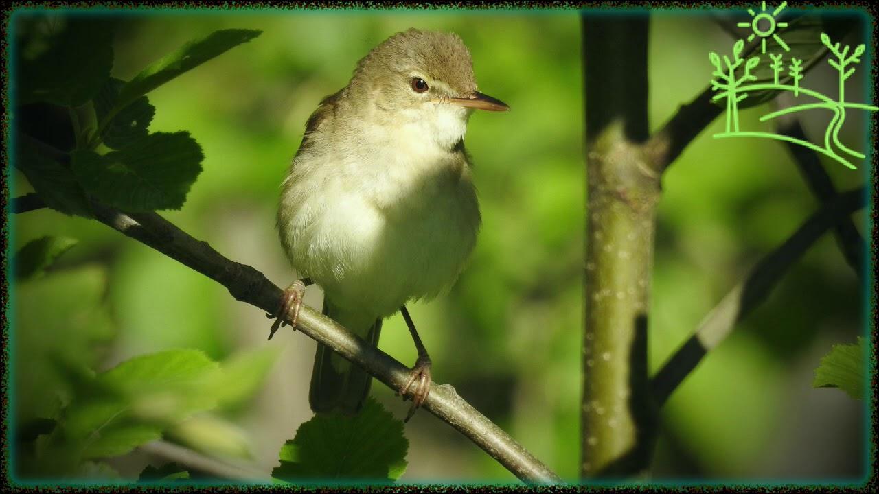 Голоса птиц Как поёт Камышовка садовая (Acrocephalus dumetorum)