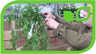 How to prune a hanging mulberry tree