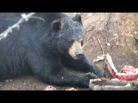 Chasse à l'ours. Pourvoirie l'Esprit de l'ours