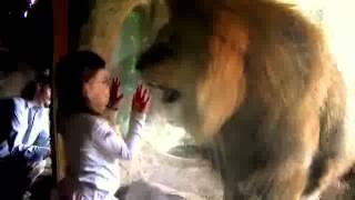Menina encarando Leao feroz em zologico kkk (comedia)